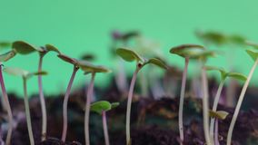 Germinating wonderful green nature plants evolution sprouts from seed growing in ground agriculture concept, spring or summer time. Lapse, moving to the sun, on stock video footage