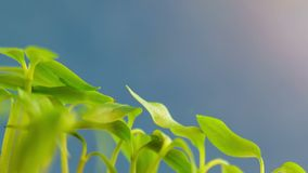 Germinating wonderful green nature plants evolution sprouts from seed growing in ground agriculture concept, spring or summer time. Lapse, moving to the sun, on stock footage