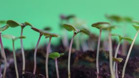 Germinating wonderful green nature plants evolution sprouts from seed growing in ground agriculture concept, spring or summer time. Lapse, moving to the sun, on stock video