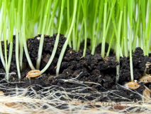 Germination. Closeup view of wheat germination in the soil Royalty Free Stock Photos
