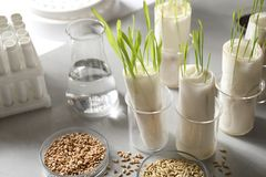 Free Germination And Energy Analysis Of Plants In Laboratory. Paper Towel Method Royalty Free Stock Image - 159634036
