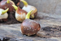 Germination of bulb Royalty Free Stock Images