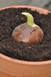 Germination of a bulb Royalty Free Stock Photo