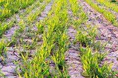 Germination of cereal plants. Cereal sprouts have just begun to germinate from the ground. Green sprout lines. A fertile farmland royalty free stock photos