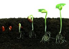 Germination des haricots Photographie stock