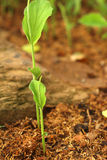 Germination is the new life of green seedlings. Stock Image