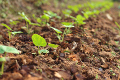 Germination is the new life of green seedlings. Stock Photos