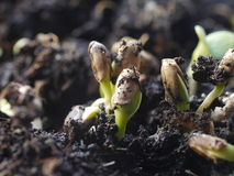 Germination  plant Stock Image