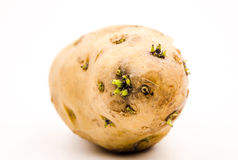 Germination of potatoes. Can produce a kind of call black nightshade element (also called solanine) of toxins.Can't eat Royalty Free Stock Image