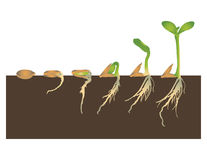 Germination of seed. Germination is the process by which a plant grows from a seed Stock Photo
