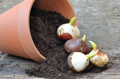 Germination of tulip bulbs. In a pot of potting soil overturned Stock Images