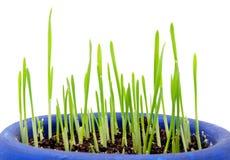 Germination Wheatgrass sur le fond blanc Photographie stock libre de droits