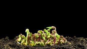 Germinazione dei fagioli verdi su fondo nero stock footage