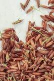 Germinazione dei semi, pianta di riso delle piantine fotografia stock libera da diritti
