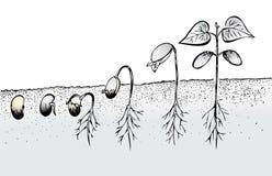 Germinazione del seme del fagiolo Fotografia Stock