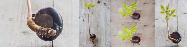 Germinazione dell'albero del Conker Fotografia Stock