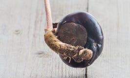 Germinazione dell'albero del Conker Fotografie Stock