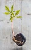 Germinazione dell'albero del Conker Fotografia Stock Libera da Diritti