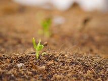 Germine da corriola da água com semente acima Fotos de Stock Royalty Free