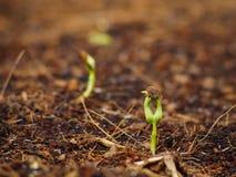 Germine da corriola da água com semente acima Fotografia de Stock