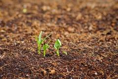 Germine da corriola da água com semente acima Foto de Stock Royalty Free