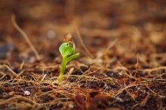 Germine da corriola da água com semente acima Fotografia de Stock Royalty Free