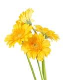 Germini που απομονώνεται κίτρινο Στοκ εικόνα με δικαίωμα ελεύθερης χρήσης