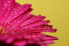 Germini blomma Arkivfoton