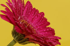 Germini blomma Arkivfoto