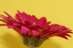Germini blomma Royaltyfria Foton