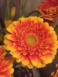 Germini blomma arkivbild