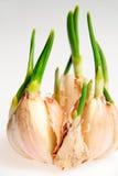 Germini l'aglio Fotografia Stock