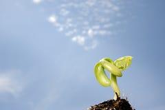 Germnating seedling Stock Image