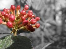 Germogli 2 di Hydreangea fotografia stock