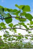 Germogli al frutteto di kiwi fotografia stock
