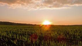 Germogli al tramonto. Lasso di tempo video d archivio