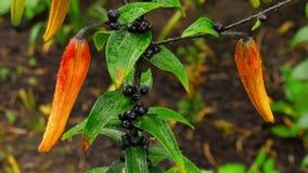 Germogli arancio del giglio dopo pioggia archivi video