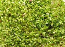 Germogli bianchi del ravanello Fotografia Stock