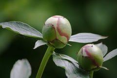 Germogli bianchi della peonia su un fondo verde Fotografia Stock