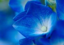 Germogli blu dell'ortensia Fotografie Stock