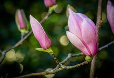 Germogli chiusi della magnolia Fotografia Stock Libera da Diritti