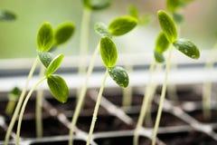 Germogli con le foglie verdi e con le gocce di crescita dell'acqua Immagini Stock Libere da Diritti