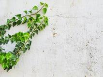 Germogli con le foglie verdi sulla vecchia parete bianca Fotografia Stock