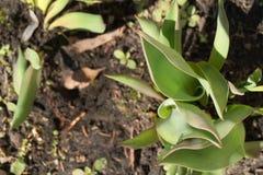 Germogli crescenti del giacinto nell'aiola Sole di primavera Punto di vista superiore giovani piante del giacinto fotografia stock libera da diritti