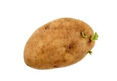 Germogli crescenti della patata Fotografia Stock