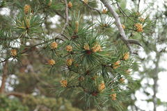 Germogli dei coni e degli aghi del pino sul ramo Immagini Stock Libere da Diritti
