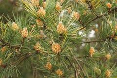 Germogli dei coni e degli aghi del pino sul ramo Immagine Stock Libera da Diritti