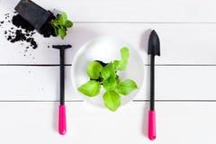 Germogli dei giovani, tiro, piantina, alberello in un piatto bianco su un fondo di legno bianco con gli strumenti di giardino qua fotografia stock