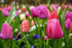 Germogli dei tulipani con il fondo di Bokeh immagine stock libera da diritti