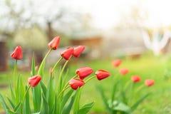 Germogli dei tulipani rossi che crescono in un giardino, fine su fotografia stock